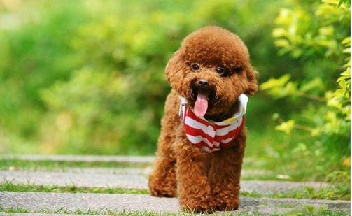 为什么开朗的适合养贵宾犬